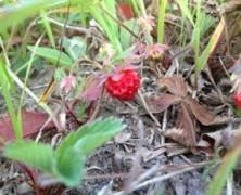 Le temps des petites fraises